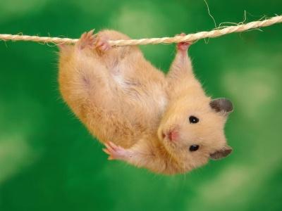 juego Hamster acróbata