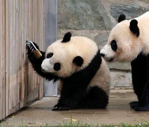 La fuga del Panda
