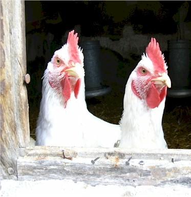 gallinas no les gustan las peleas