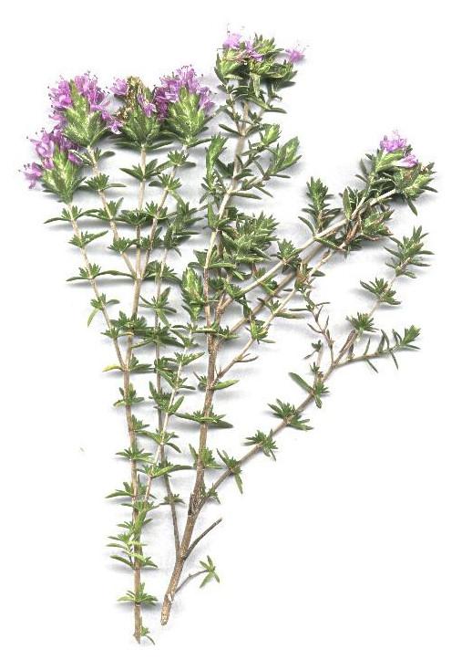 tomillo planta fitoterapia