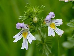 Eufrasia flor