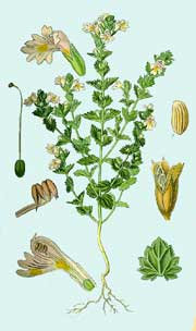 Eufrasia planta