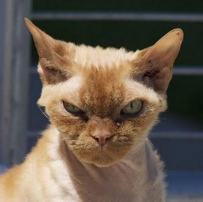 gato+enojado.jpg