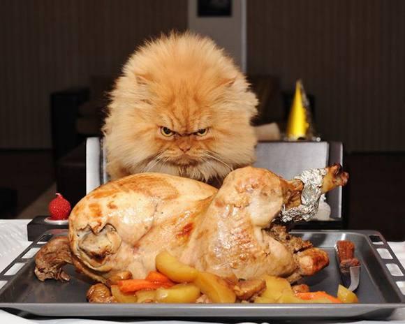 gato pollo