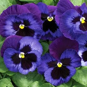 flor planta pensamiento
