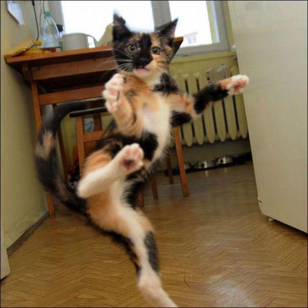 gato-carate