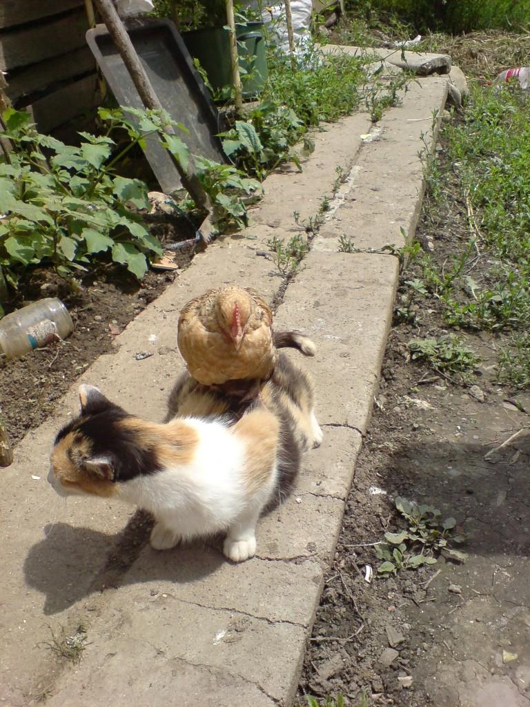 gato-gallina