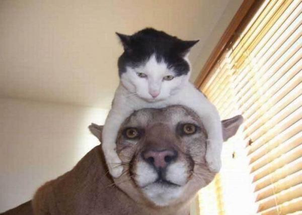 gato-leon