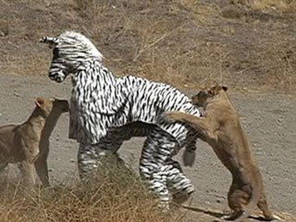 leones-tontozebra