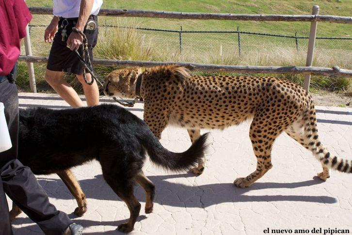 leopardo-paseo
