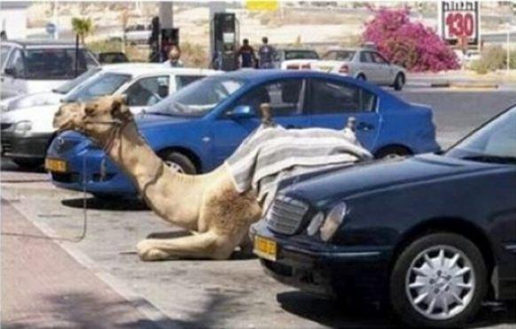 parquin-camello