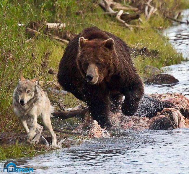 perro-oso
