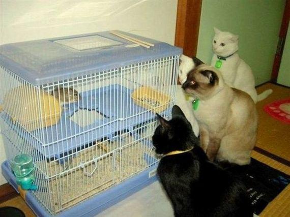 gatos-rata