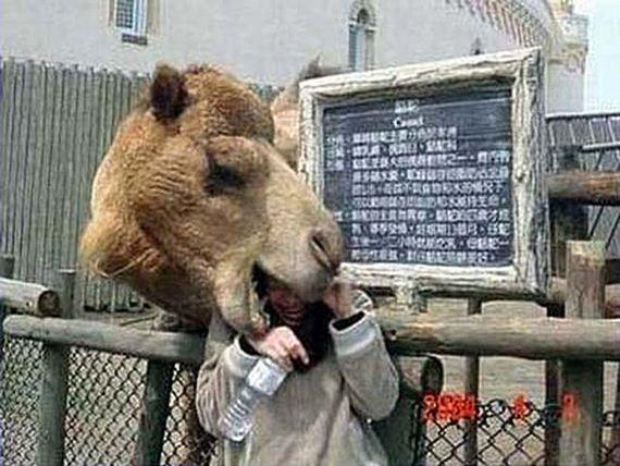 camello-comilon