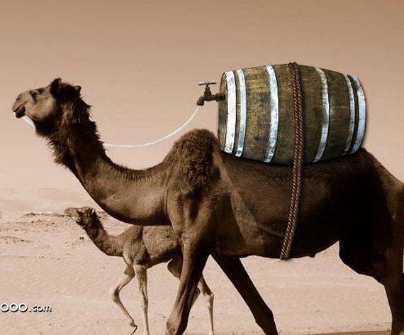 camello-sed
