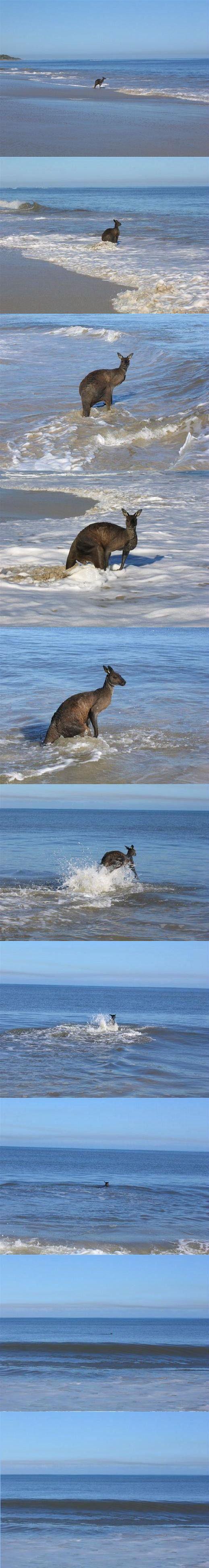 canguro-suicida