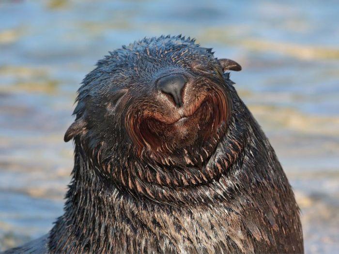 foca-risueña