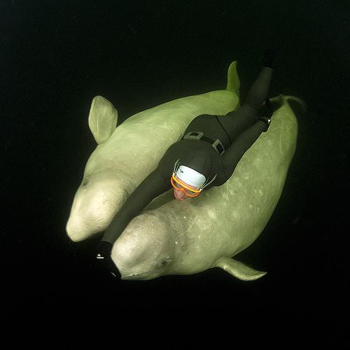 ballenas-belugas-submarinista-apnea-10