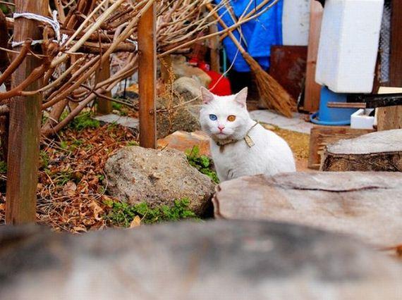gatos heterocromia
