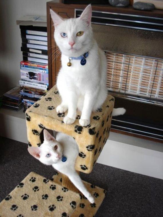 gatos-heterocromia