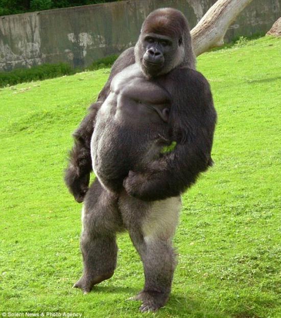 gorila-humano