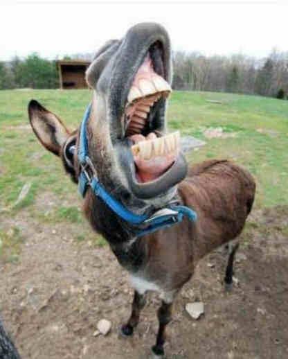 burro-cantante