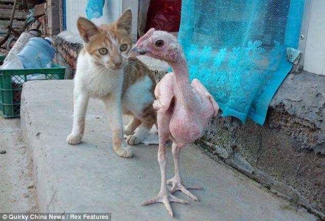 gato-pollo-desplumado