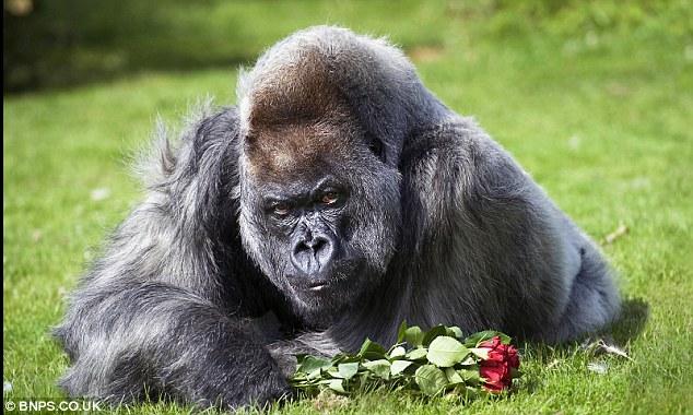 gorila-amoroso