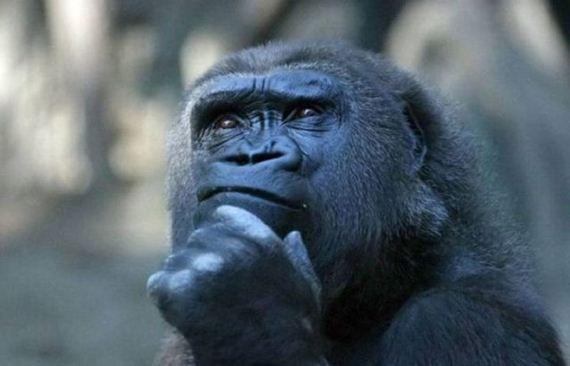 gorila-pregunta