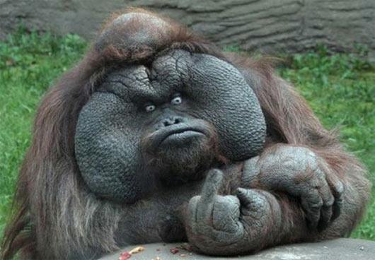 gorila-quedon