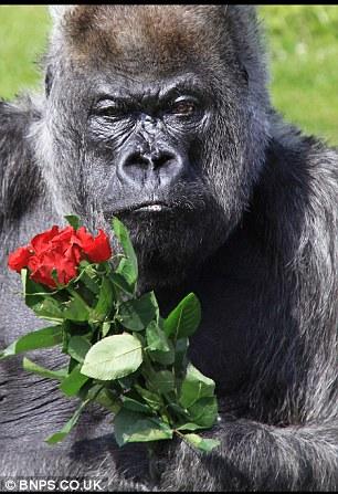 gorila-romantico