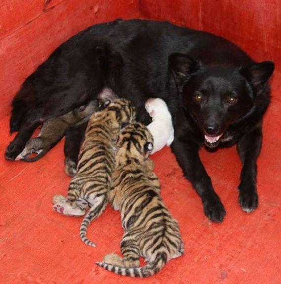 mama-perra-tigres