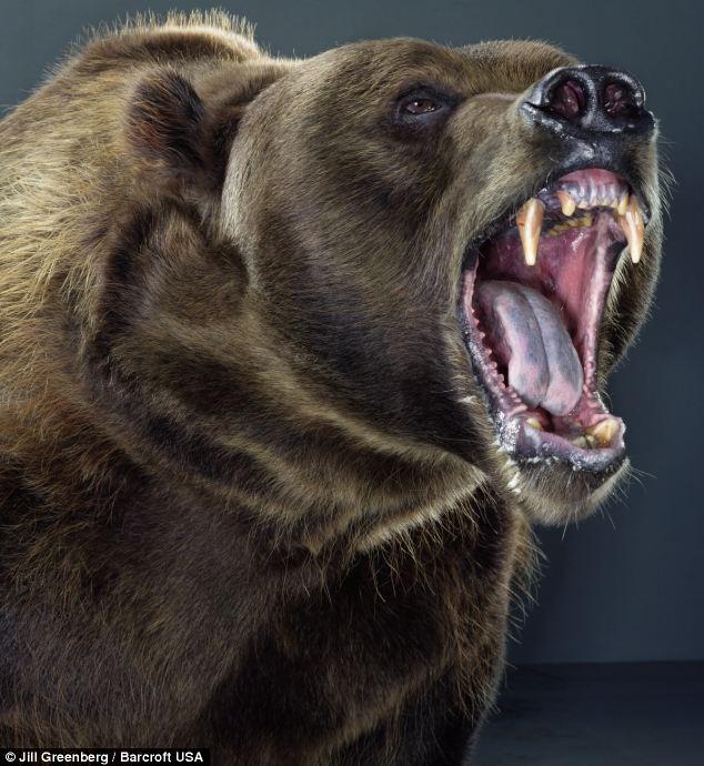 oso-cabreado