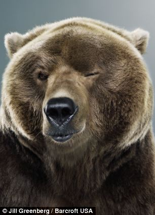 oso-giño