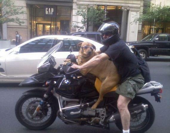 perro-motorista