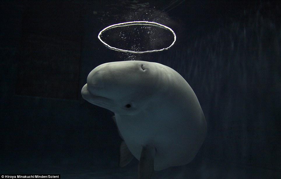 beluga-jugetona