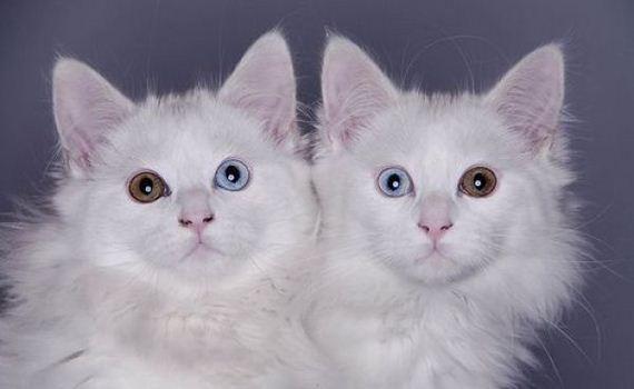 gatos-diferentes-colores-ojos