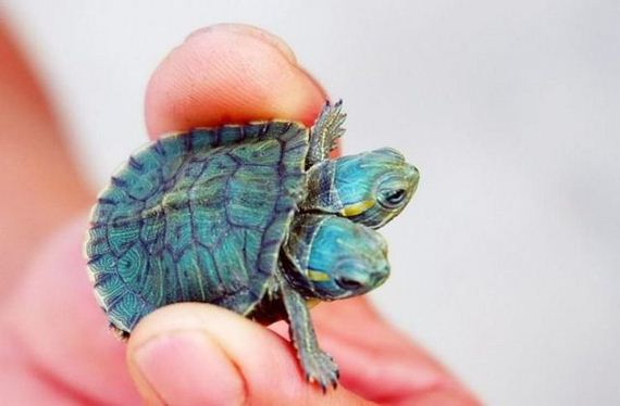 tortuga-dos-cabezas