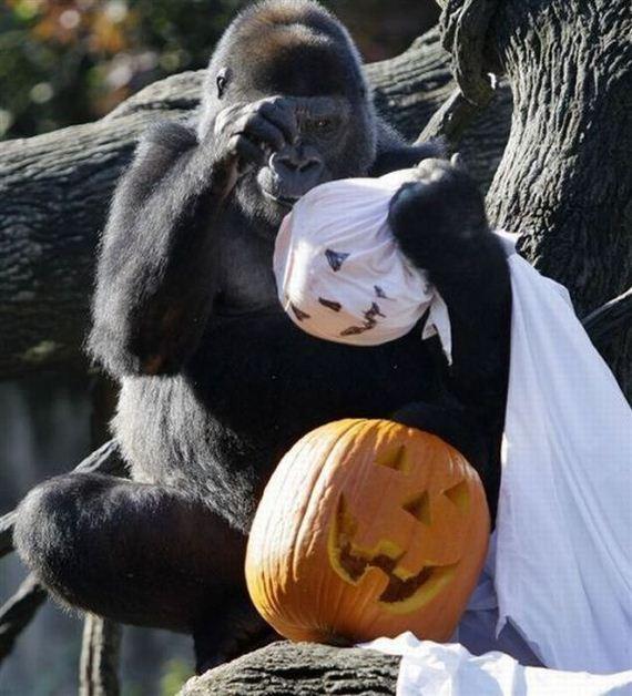 gorila-halloween