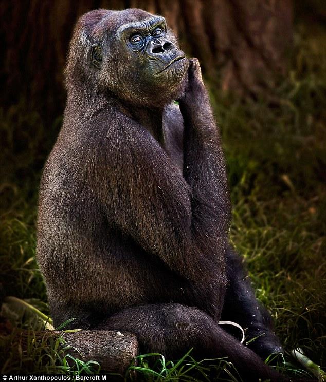 gorila-pensador