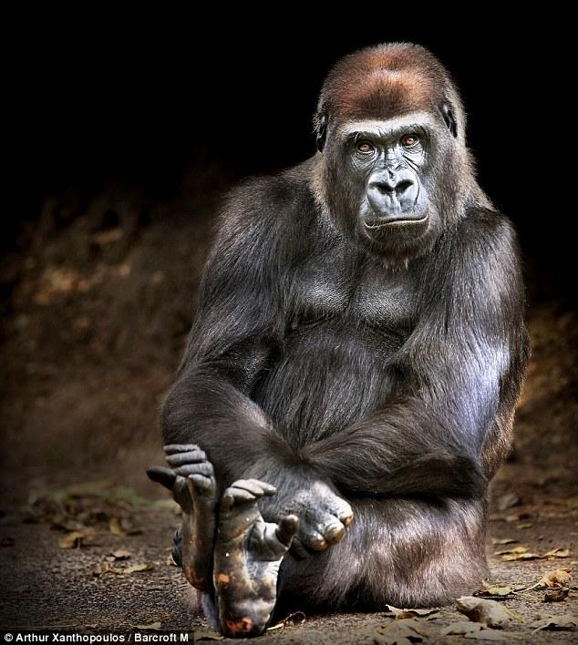 gorila-serio
