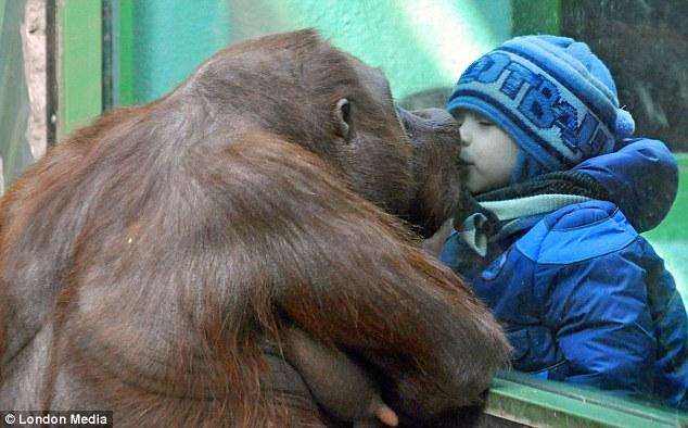 bebe-beso-gorila