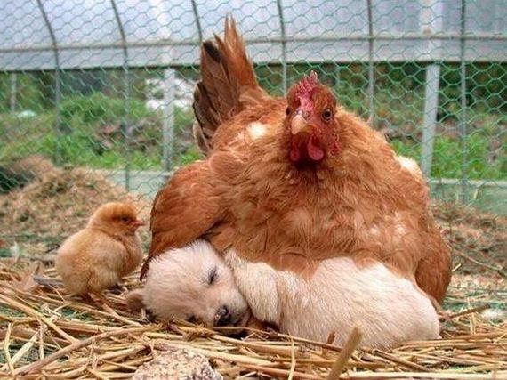 gallina-perrito