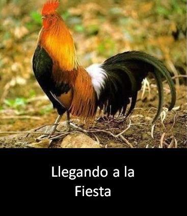 gallo-fiesta-1