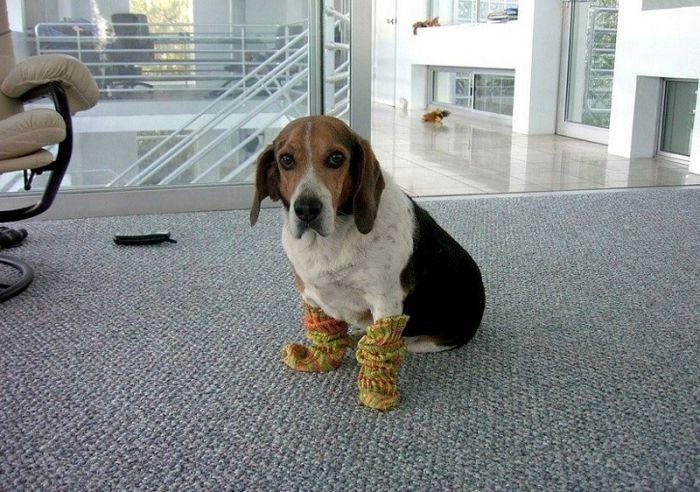 perro-botas