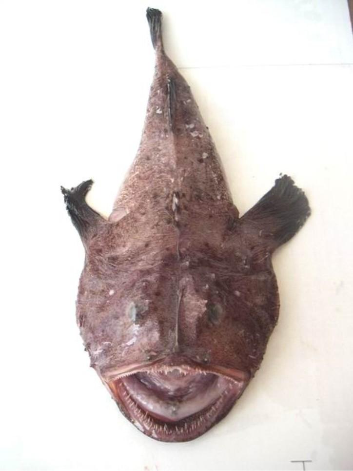 rape monkfish
