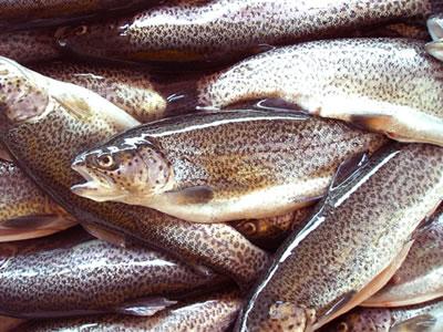trucha pescado