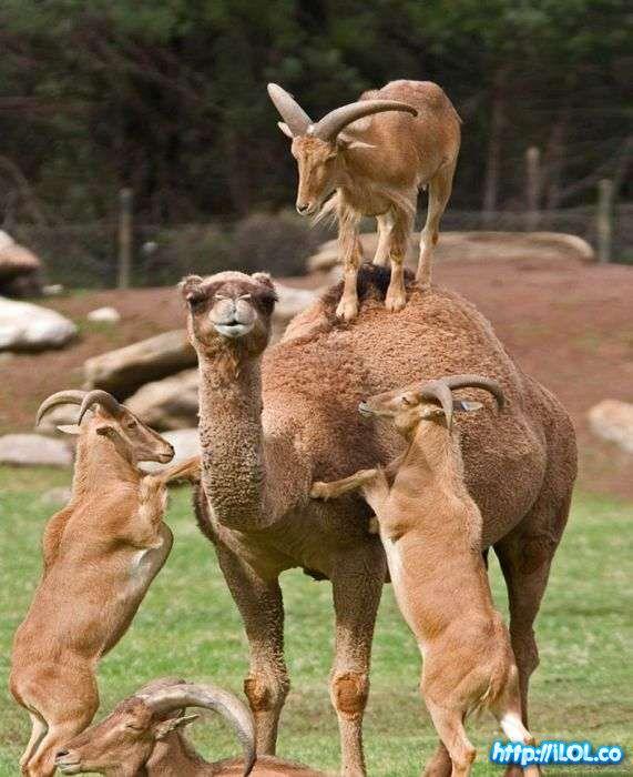 cabras-camello
