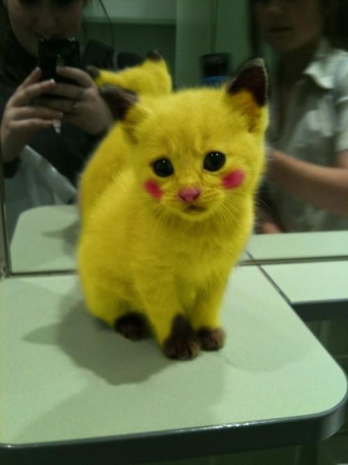 gato-amarillo