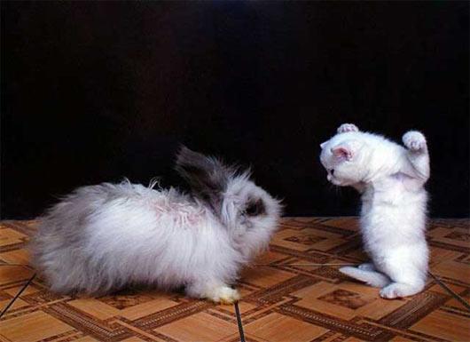 gato-conejo